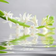 spray of dainty white flowers reflected in water - stock photo