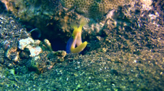 Ribbon eel (Rhinomuraena quaesita) blue and yellow, close up Stock Footage