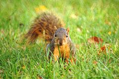 frontal portrait of squirrel in the grass - stock photo