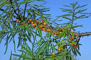 Stock Photo of sea-buckthorn berries