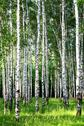 Stock Photo of beautiful evening birch grove in june