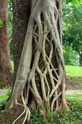 Close-up of parasite tree roots grown over a banyan tree. Stock Photos