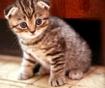 Stock Photo of striped scottish fold kitten