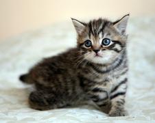 Striped scottish straight kitten in game Stock Photos