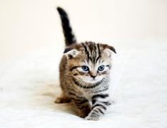 Striped scottish fold kitten with blue eyes Stock Photos