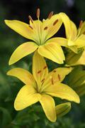 Yellow lilies in rain Stock Photos