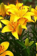Yellow tiger lilies in summer garden Stock Photos