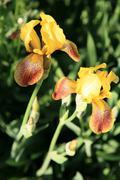 Yellow spring irises Stock Photos