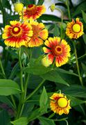 yellow-red flowers in the summer garden - stock photo