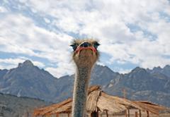 Head of an ostrich Stock Photos