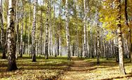 Stock Photo of pathway in ocober autumn sunny birch grove