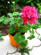 Stock Photo of pink geranium flower in brown pot