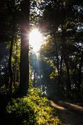 Sun beams pour through trees in foggy forest.. Stock Photos