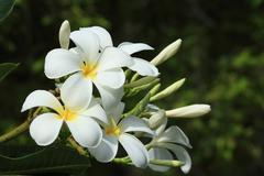 the plumeria has five petals, yellow middle, outside white. - stock photo