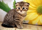 Stock Photo of scottish fold kitten on flower background