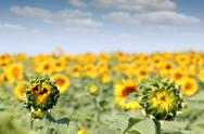 Stock Photo of bright sunflower field summer season