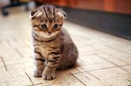 Stock Photo of funny curious scottish fold kitten