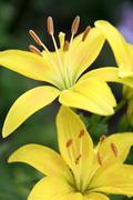 Golden lilies Stock Photos