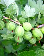 Gooseberry with leaf on green background Stock Photos