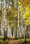 golden mixed autumn forest in sunny weather - stock photo