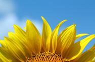 Stock Photo of sunflower bright yellow leaf summer season