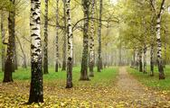 Stock Photo of morning autumn mist in october birch grove at crossing paths