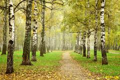 Pathway in autumn fog birch forest Stock Photos