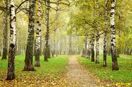 Stock Photo of pathway in autumn fog birch forest