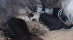 Old English Sheepdog newborn puppies suckling Stock Footage