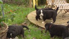 Bernese Mountain Dog pups exploring yard Stock Footage