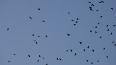 Flock of jackdaws soaring through a blue sky Stock Footage