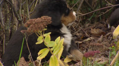 Bernese Mountain Dog pup in garden playfully destroying a plant Stock Footage