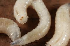 Maggots Stock Photos