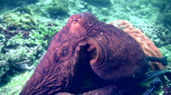 Common reef octopus (Octopus cyanea) crawling Stock Footage