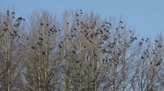 Flock of jackdaws sitting in bare trees Stock Footage