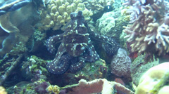 Common reef octopus (Octopus cyanea) changing color and shape - stock footage