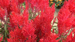 POTTED RED COLOR CELOSIA FOR SALE DURING CHINESE NEW YEAR (RED CELOSIA--1A) Stock Footage