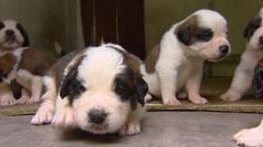 St. Bernard pups crawling  (3 weeks old) - on camera Stock Footage