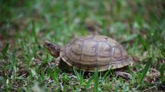Three Toed Box Turtle Stock Footage