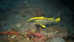 Ribbon sweetlips and yellow trumpetfish swimming together Stock Footage