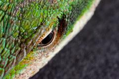 Green Anole eye Stock Photos