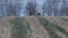 Stock Video Footage of Canada geese and roe deer on a meadow in early spring