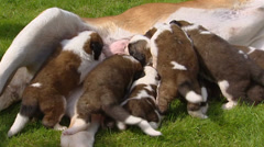 St. Bernard pups suckling  (3 weeks old) Stock Footage