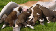 Stock Video Footage of St. Bernard pups suckling  (3 weeks old)