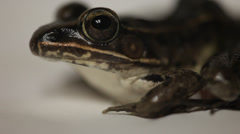 Leopard frog up close Stock Footage