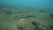 Stock Video Footage of Lone barracuda on sandy ocean floor