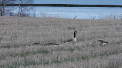 Two couples of Canada geese searching food in a stubble field Stock Footage