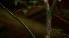 Sri Lanka-Ants scurrying to build nest on branch-1 Stock Footage