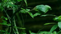 Sri Lanka-Red ants building nest in tree Stock Footage