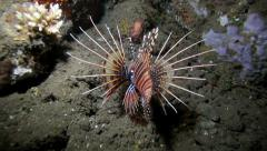 Lionfish swimming on coral reef at night Stock Footage